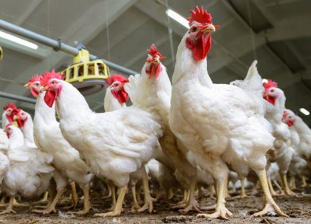supplier ayam potong di yogyakarta, supplier ayam potong di jogja, supplier ayam potong jogja