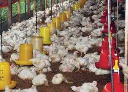 usaha ayam potong tanpa modal
