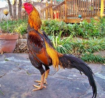 ayam bangkok, ayam bangkok super, ayam bangkok juara, ayam bangkok aduan, ayam bangkok f1